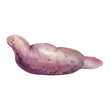 Hand drawn watercolor illustration of Sweet potato. Isolated on the white background