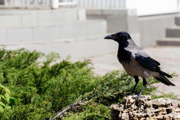 Grey crow, hooded crow (Corvus corone cornix) in park