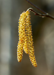 Branch of hazelnut tree.