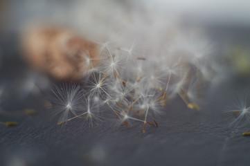 Dandelion seeds parachutes on gray stone background
