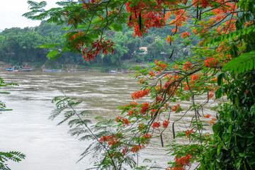 Tamarind blossoms frame the Mekong River in Luang Prabang Laos