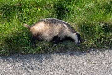 Badger killed by car on the road.