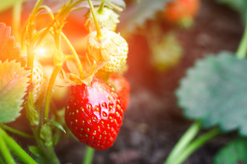 Large strawberry fruits grow and ripen in garden in sunlight. Ripe large natural berries on sunbeam at sunset of day