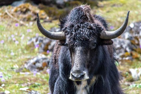 Wild yak at Yumthang valley, North Sikkim, Eastern Himalayas, India