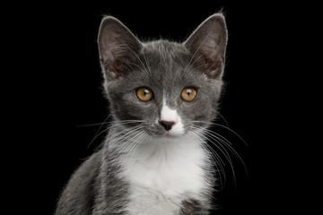 Portrait of Cute Kurilian Bobtail Kitten with white breast, Isolated Black Background
