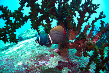 white collor butterflyfish