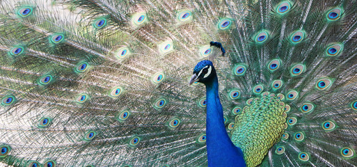 Photo sur Toile Paon Indian peacock