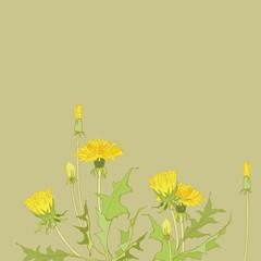 Yellow dandelions. Medicinal plant. Spring flowers. Taraxacum