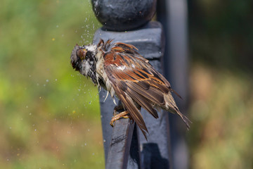 Sparrow sitting on a fence shakes off after bathing in a pool. Birds