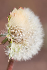 white dandelion as background