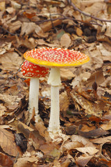 Young and mature Fly Agaric (Amanita muscaria) mushrooms growing in a forest