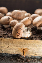 Cultivation of brown champignons mushrooms, grow in underground nature caves in France, ready for harvest