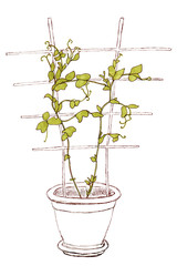 Climbing plant with support in pot isolated on white background, graphic illustration of green peas plant