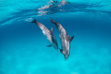 Spotted dolphins surfing in waves in clear blue water