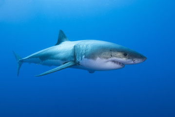 Great white shark sideways in clear blue water