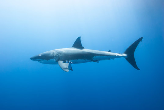 Great white shark with pilot fish from the side in blue water