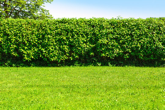 Home garden landscape - a green lawn and a big hedge on a blue sky background.