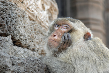 Macaque portrait looking annoyed in Thailand