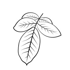 Vector illustration, isolated rose leaves in black and white colors, outline hand painted drawing