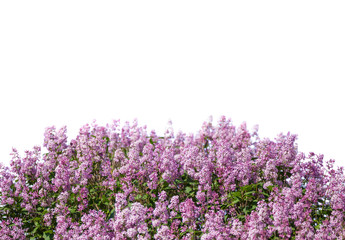 Blooming lilac. Lush clusters of purple lilac bushes isolated. The upper part of the shrub.