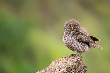 Fototapete - The little owl (Athene noctua) standing on a rock on a colorful background