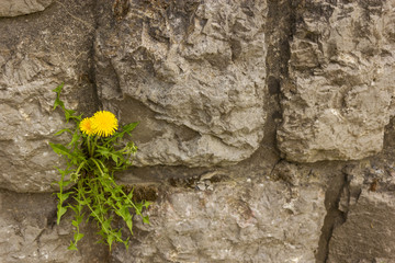 a lions tooth in the wall