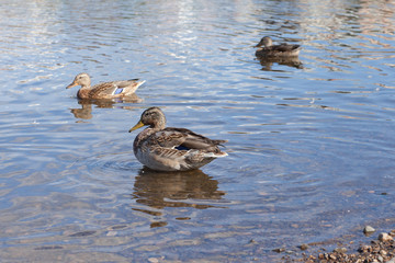 Ducks ashore clean their feathers