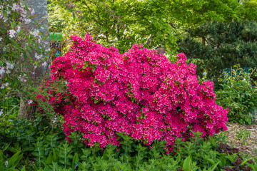 Pink Azalea Bush 2