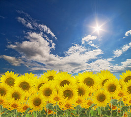 large group of sunflowers on sunny sky background