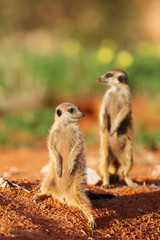 The meerkat or suricate (Suricata suricatta) patrolling near the hole. Two individuals standing in the morning sun.