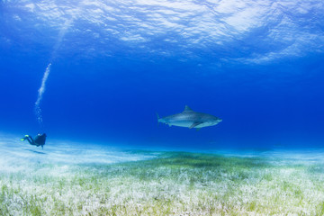 Tiger shark in clear blue water with scuba diver and sun in the background