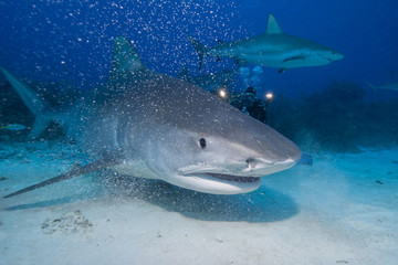 Very close tiger shark head shot in clear blue water