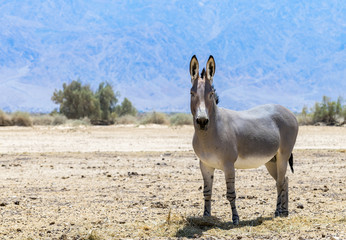Somali wild donkey (Equus africanus). This species is extremely rare both in nature and in captivity. Nowadays it inhabits nature reserve near Eilat, Israel