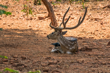 A deer sambar resting under a tree shadow & a lot of crow are playing on above sambar body.