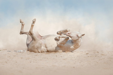 Akhalteke horse roll in sand with dust