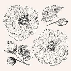 Wild roses blossom branch isolated on white. Vintage botanical hand drawn illustration. Spring flowers of garden rose, dog rose. Vector design