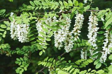 Branch of white acacia flowers on the tree