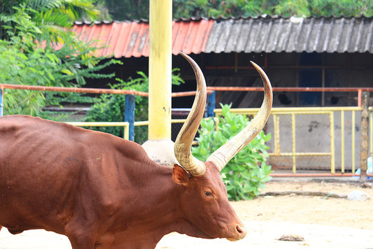 Brown cow in the zoo