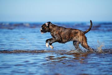 german boxer dog running in water