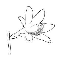 Vector illustration, isolated lily flower in black and white colors, outline hand painted drawing