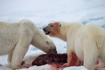 Foto auf Acrylglas Eisbar Polar bear of Spitzbergen (Ursus maritimus)