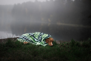 dog on the lake in the fog under the blanket.Nova Scotia Duck Tolling Retriever, Toller