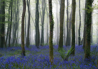 Forest of Bluebells on a misty day
