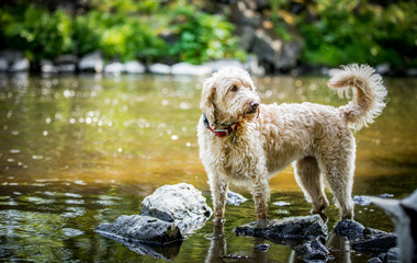Labradoodle in the river