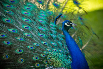 peacock, plumage, feathers, birds, colorful, nature, animals