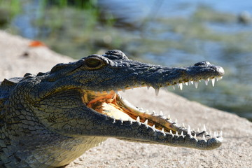 Young crocodile with openbed mouth