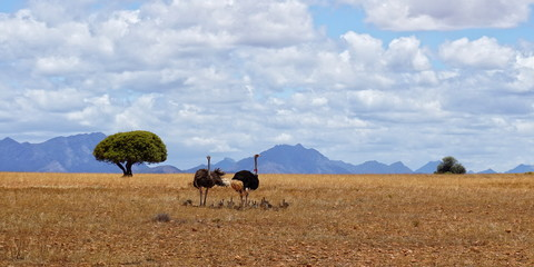 Photo sur Plexiglas Autruche Family of ostriches in South Africa