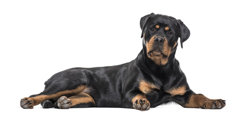 Rottweiler dog lying against white background