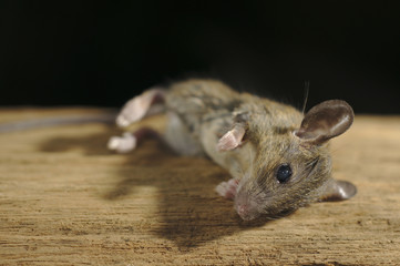 Brown Mouse die on wooden with black background