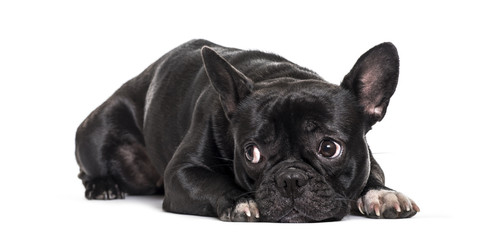 French Bulldog , 1.5 years old, lying against white background